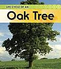 Life Cycle Of An Oak Tree