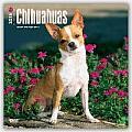 Chihuahuas Calendar