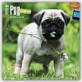 Pug Puppies Calendar