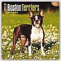 Boston Terriers 2016 Calendar
