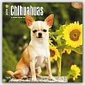 Chihuahuas 2016 Calendar