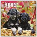 Schnauzer Puppies 2016 Calendar