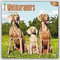 Weimaraners 2016 Calendar
