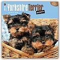 Yorkshire Terrier Puppies 2016 Calendar