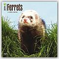Ferrets 2016 Calendar