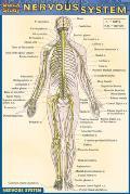 Quickstudy Nervous System