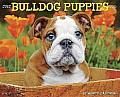 2015-Bulldog Puppies