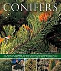 Conifers: An Illustrated Guide to Varieties, Cultivation and Care, with Step-By-Step Instructions and Over 160 Beautiful Photogr