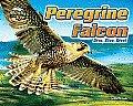 Peregrine Falcon: Dive, Dive, Dive! (Blink of an Eye)