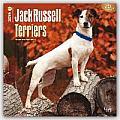 Jack Russell Terriers 2016 Calendar