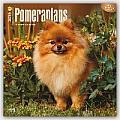 Pomeranians 2016 Calendar