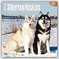 Siberian Huskies 2016 Calendar