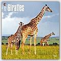 Giraffes 2016 Calendar