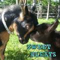 Sweet Bleats